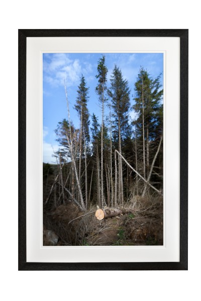 sawn tree in constast against forest