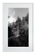 Tree in North Wales Forest black and white with white frame