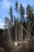 Sawn Pine Tree North Wales