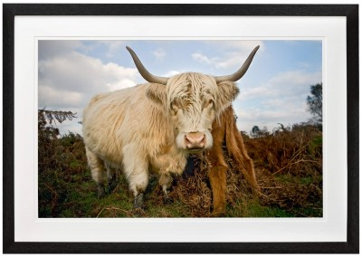Highland Cow in the Peak District