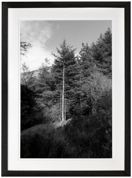 Bare tree trunk North Wales black and white