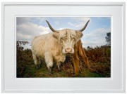 Highland Cow at Baslow Edge in the Peak District