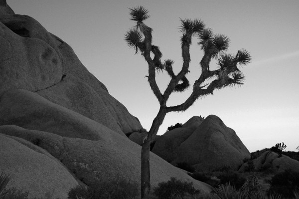 Joshua Tree balck and white